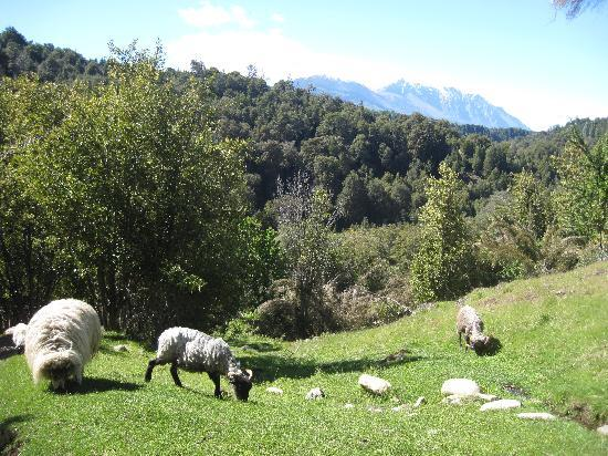 La Confluencia Lodge: sheep grazing on the grounds