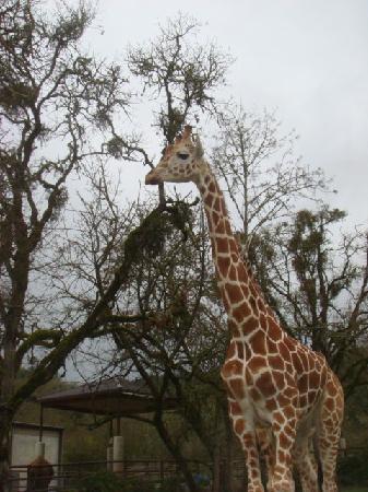 Wildlife Safari: giraffe