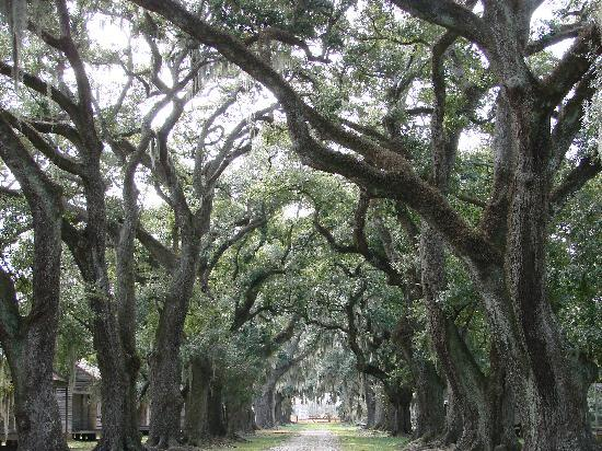 Nueva Orleans, LA: live oak trees at Evergreen Plantation