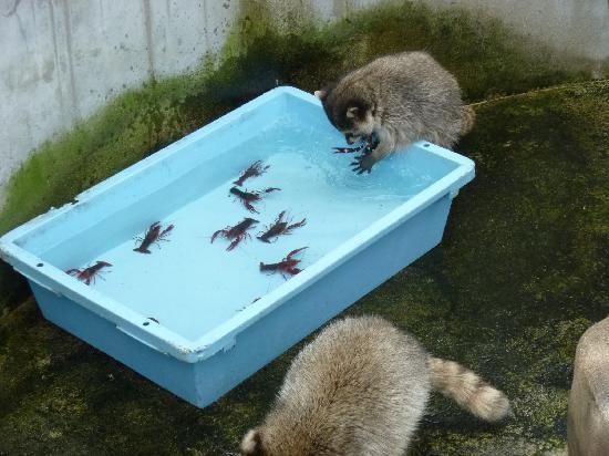 Omoriyama Zoo: ザリガニを食べようとするアライグマ