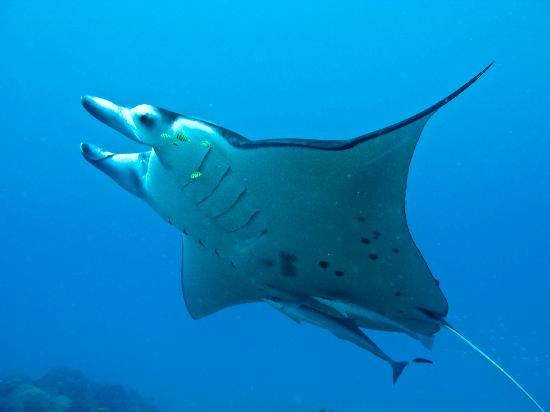 Pure Snorkeling by Reef Discovery: Manta ray in full flight