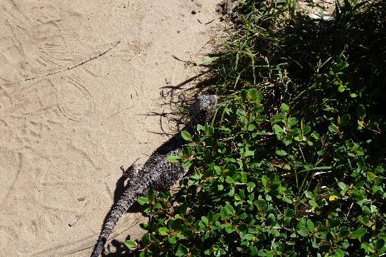 Νούσα, Αυστραλία: skepitscher Lizard