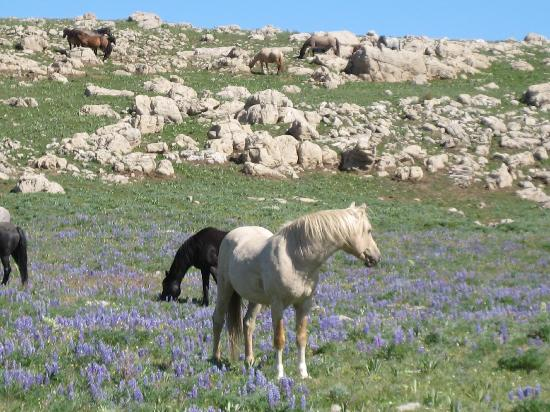 ‪‪Lovell‬, ‪Wyoming‬: Cloud's wild horse herd lives on Pryor Mtn. near Lovell, WY‬