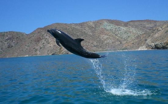 Dos Mundos : Bottle nose Dolphin. Carmen Island, Bay of Loreto National Park
