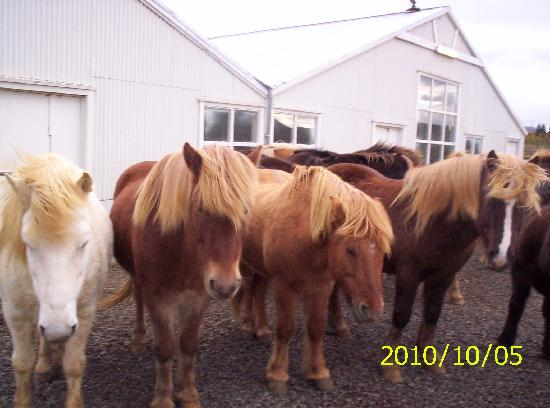 Mosfellsbaer, Iceland: Some horses at the farm