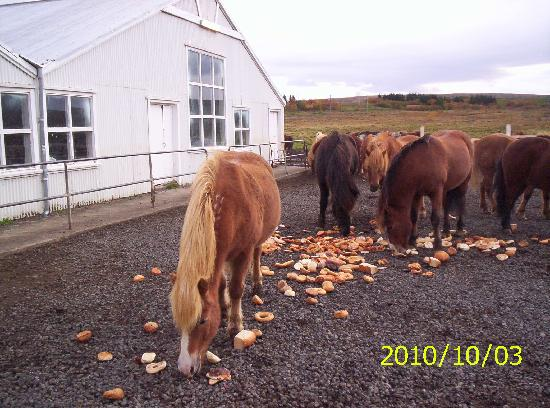 Mosfellsbaer, Iceland: The horses is eating in the morning
