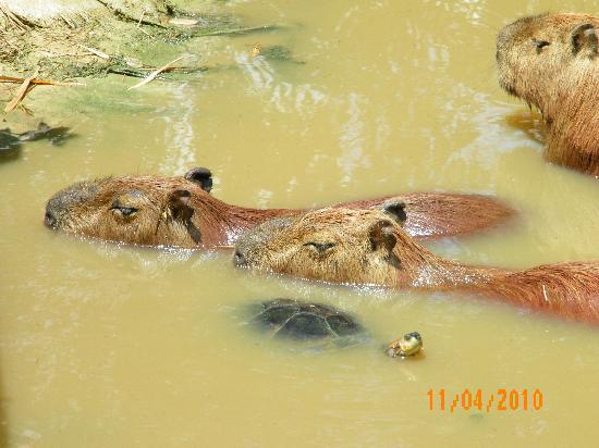 Quistacocha Zoo: Carpybarras y tortugas
