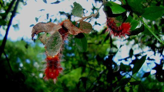 Guerrero, Argentyna: Orugas de la zona