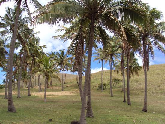 Anakena Beach : palmeras introducidas desde tahiti