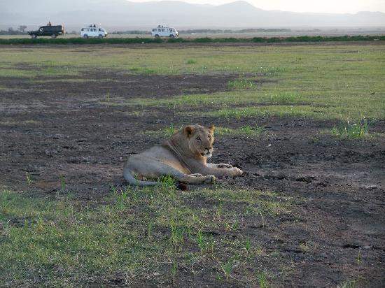 Ecosistema de Amboseli, Kenia: ライオン!迫力あります。