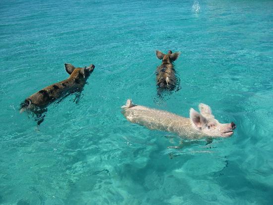 Exuma Cays Adventures: Swimming Pigs