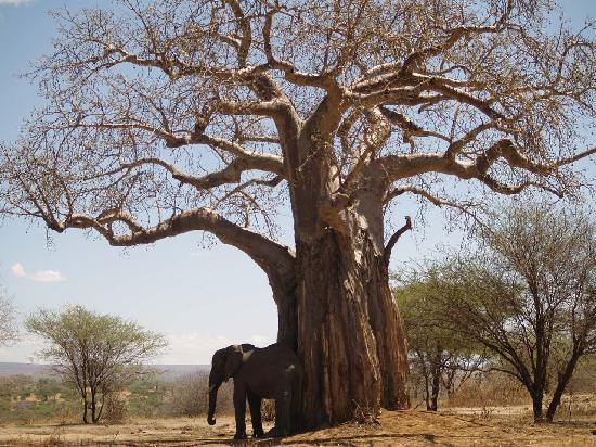 Tarangire National Park, Tanzania: Baobab tree