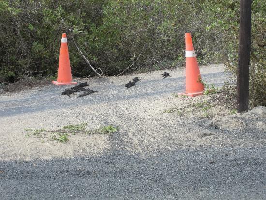 Isabela, Ekwador: cruce de las iguanas a la playa a 20 metros del hostal