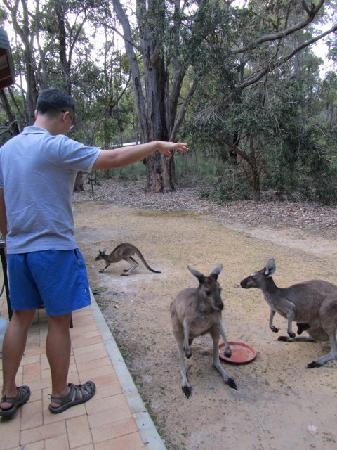 Yelverton Brook Eco Spa Retreat & Conservation Sanctuary: Feeding kangaroos