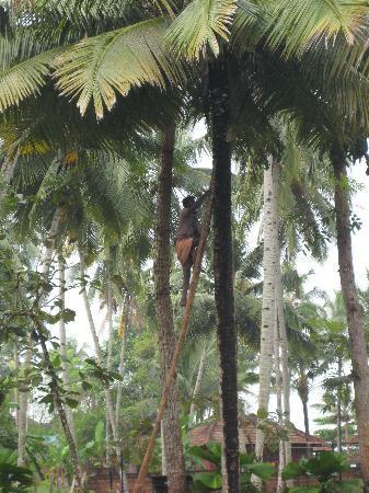 อัคฮิล บีช รีสอร์ท: Coconut havesting in garden