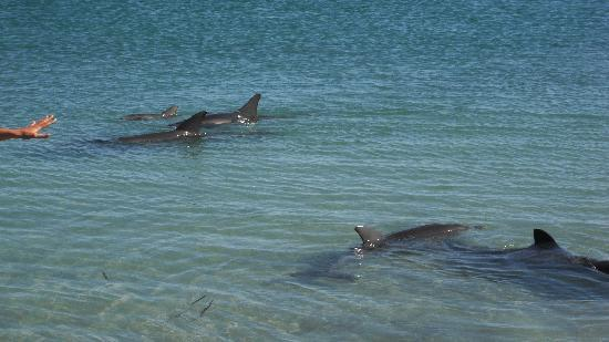 Monkey Mia Dolphin Lodge Backpackers: Wild Dolphins