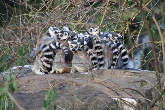 Emmen, Pays-Bas : The first cold day of the year.. These Lemur group together to stay warm