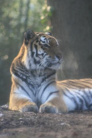 Northern Zoo: This tigres has no problem with the cold at all