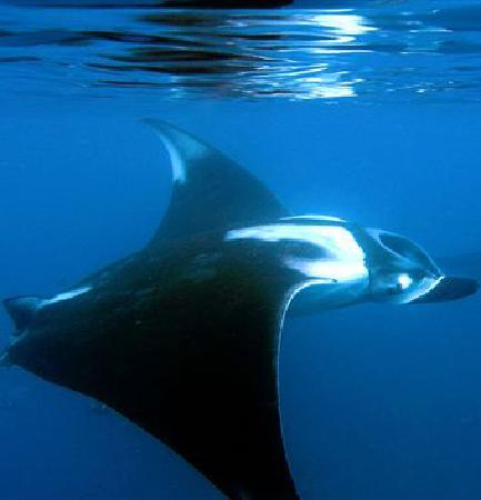 Surf Mex: Giant Pacific MantaRays