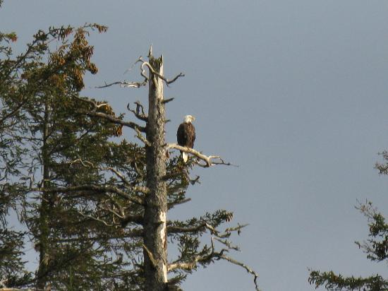 ‪‪Alaska's Sadie Cove Wilderness Lodge‬: Bald eagles‬