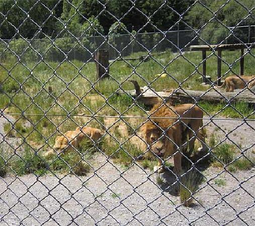 Paradise Valley Springs Wildlife Park: Mature lions ready for a feed