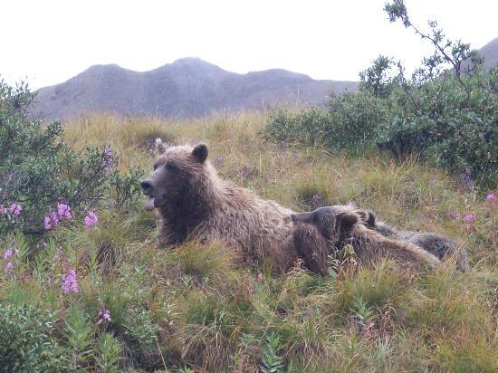Gate Creek Cabins: Bears in Denali Park