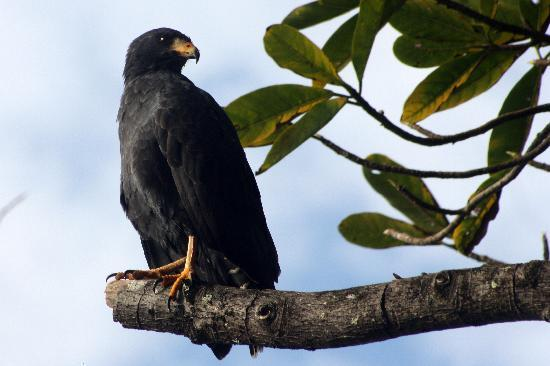 Finca Exotica Ecolodge: Mangrove hawk on Carate Beach