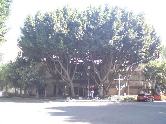 Hotel Del Principado: Nice tree nearby hotel principado