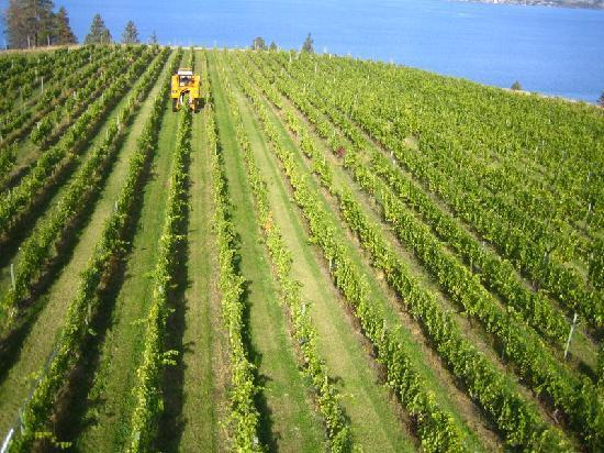 St Hubertus & Oak Bay Estate Winery: Harvest time