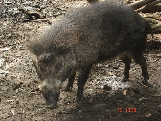 Negros Forests and Ecological Foundation Biodiversity Conservation Center: warthog