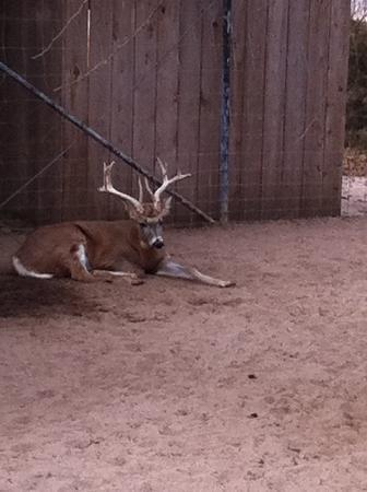 Sedgwick County Zoo: 10 pt. buck in an area with 4 big does
