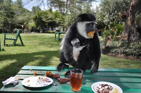 Naivasha, Kenia: Joy's Colombo Monkey eating our afternoon cakes