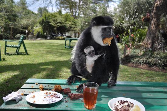 Naivasha, Kenya: Joy's Colombo Monkey eating our afternoon cakes
