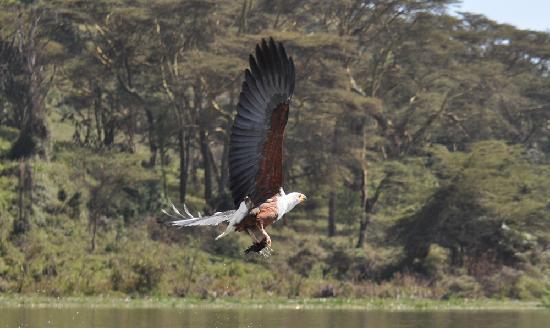 feeding a Fishing Eagle at Lake Naivasha