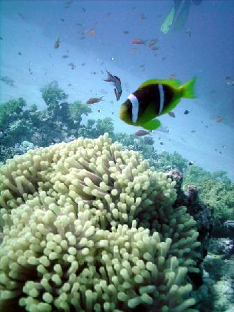 Sinai Voyage: Clown fish