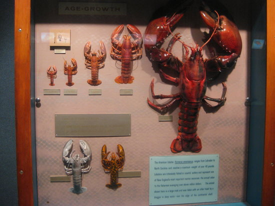 Woods Hole Science Aquarium: Lobster