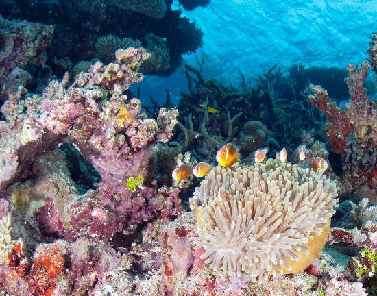 Mai Dive - Astrolabe Reef Resort : Cooperative clownfish (haha)