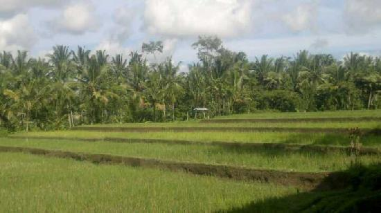 Junjungan Ubud Hotel and Spa: view from room balcony (all rooms face this ricefield)