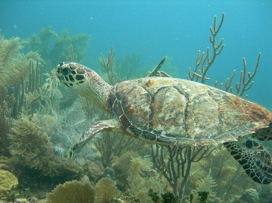 Sea Sports Belize : Hawksbill Turtle on Belize Barrier Reef