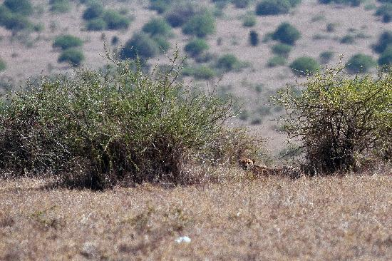 Nairobi National Park: Cheetah - the last in the park - last mohicane?