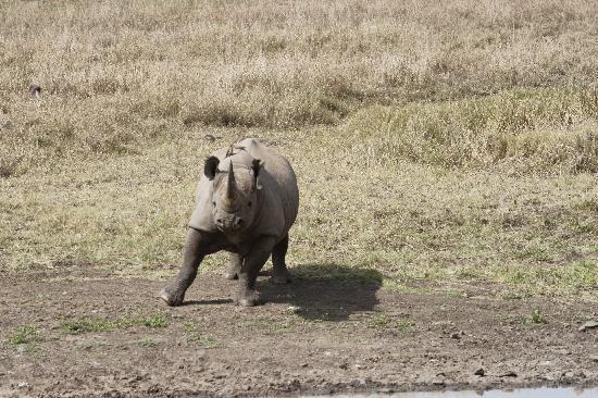 Nairobi National Park: Angry and charging black rhino