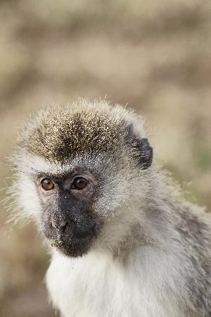Nairobi National Park: Begging vervet monkey