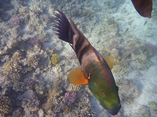 Jaz Makadi Oasis Resort and Club : parrot fish