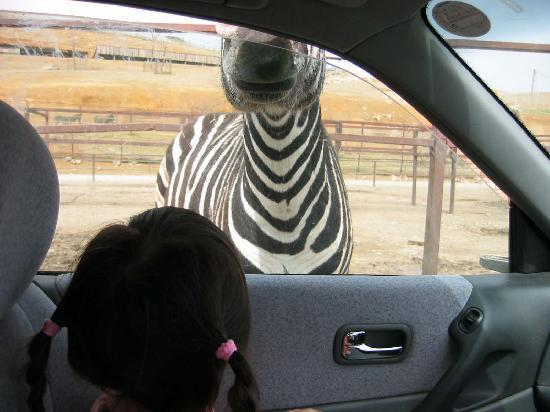 Nihonmatsu, Japan: しまうま、ラクダに要注意