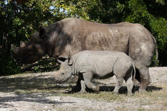 Zoo Miami: A big baby rhino - she was born 8/23/10