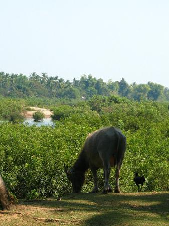 Laos: Si Phan Don - water buffalo and rooster overlooking the Mekong