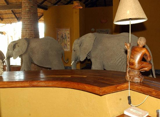 Mfuwe Lodge - The Bushcamp Company : Also regular Visitors