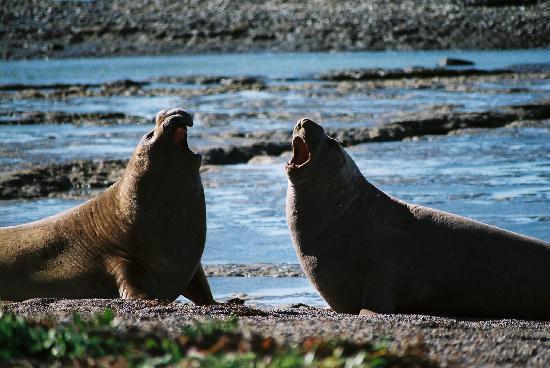 Puerto Madryn, Argentina: Seeelefanten