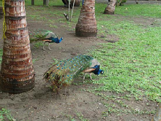Hotel Istirincha: peacocks roaming the grounds
