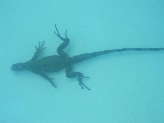 Casa de Tortuga: Iguana in pool